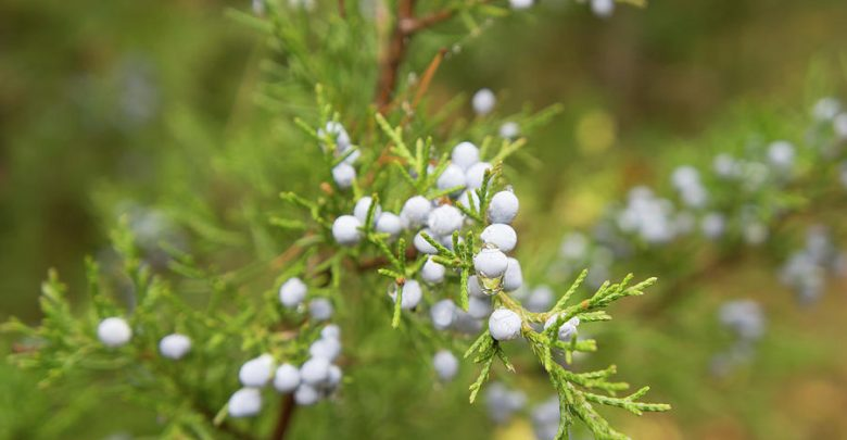 healthiest spices is juniper berries