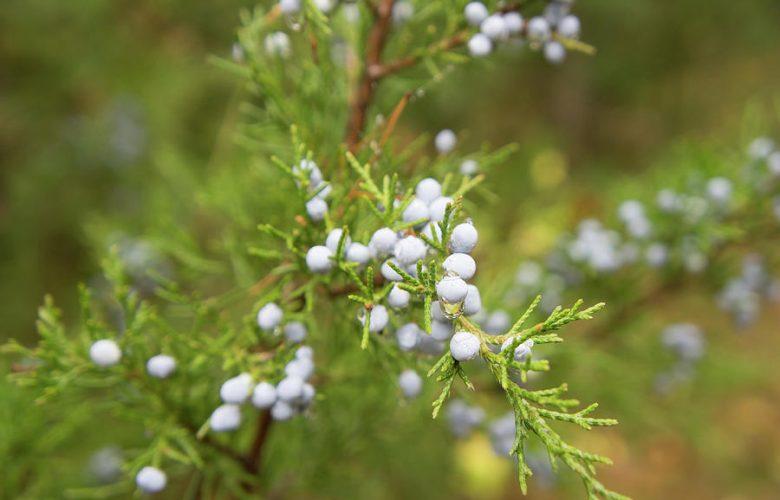 healthiest spices is juniper berries